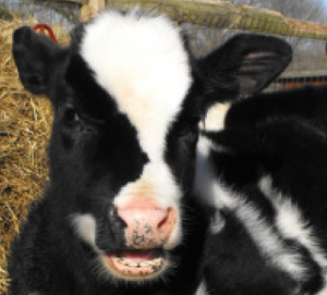 They Won Their Freedom! Two Baby Calves Now Safe and Healthy!