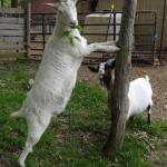 goat_fun_odessa
