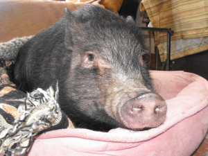 Help Glitzy the Pot Belly Pig