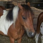 Happy Trails Hopes to Approve Homes Immediately for Mini-horses, a Mini-donkey, and More, Arriving from Indiana